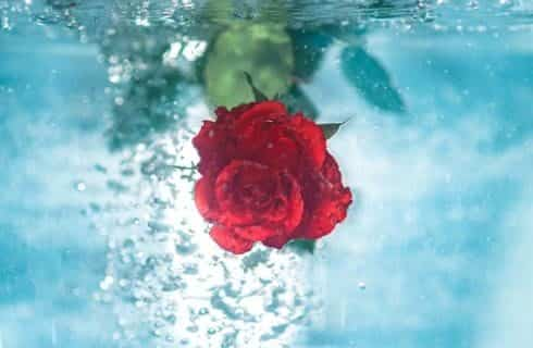 Red rose under the water